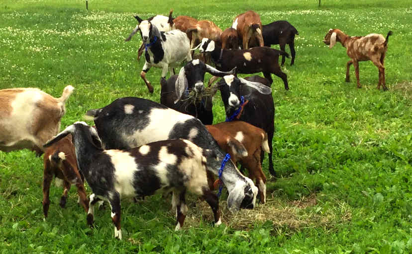Goats after milking running at Red Barn Farm
