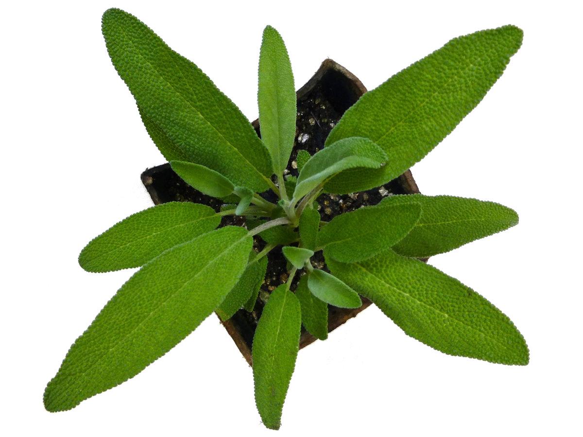 Sage Plant Start