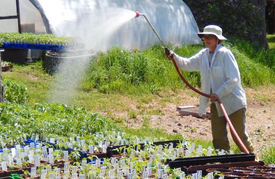 Teresa Watering Plant Starts