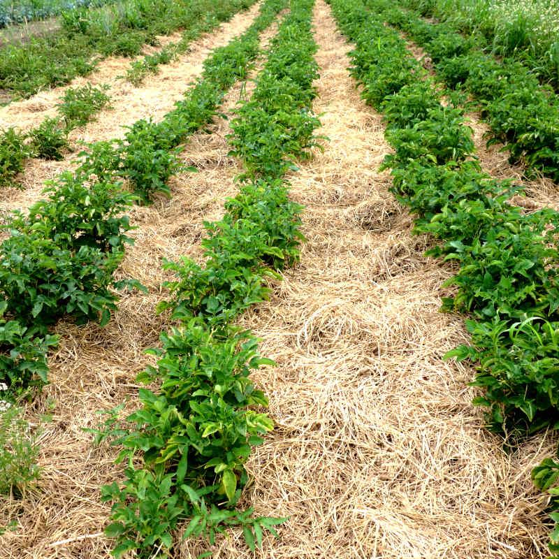 Potato Mulching Link